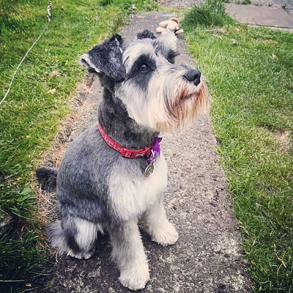 A miniature schnauzer dog sits attentively in a garden.